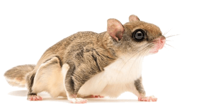 GOT FLYING SQUIRRELS IN YOUR HOUSE?