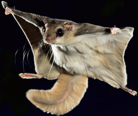 Flying Squirrels Removal Greenwich